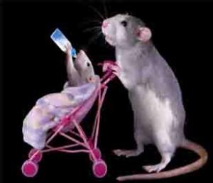 rat-study